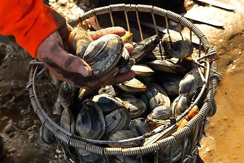 freshly-harvested-clams