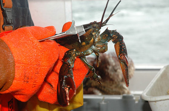 person wearing orange gloves clipping a lobster
