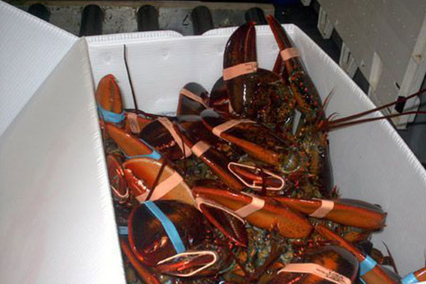 many lobsters in a container