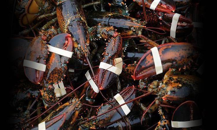 many lobsters